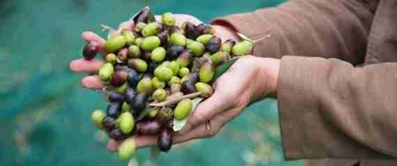 Olio di oliva, Italia e Spagna verranno superati nel 2015 da Grecia e Tunisia per l' export